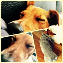 Jack Russell Charlie collage